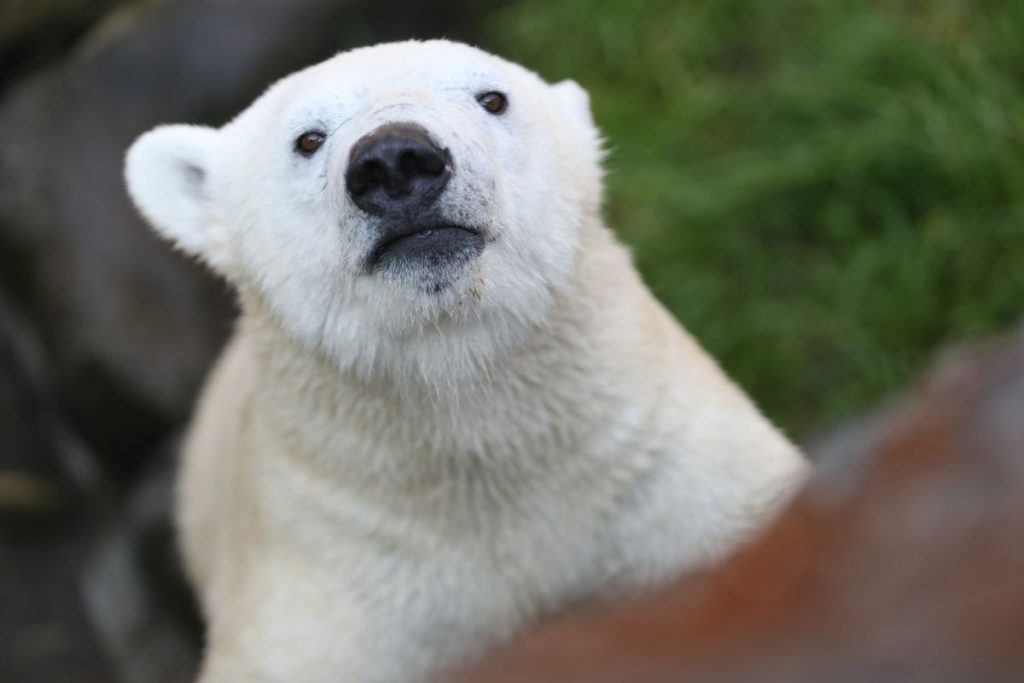 The loneliest polar bear has company in a warming world